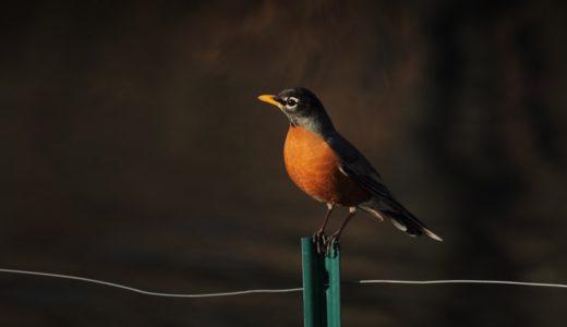 【フリーBGM】「自然曲」第七番-優しく鳴くジョウビタキ/穏やかで優しさのある