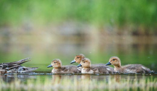 【フリーBGM】「自然曲」第五番-集団で泳ぐカモ軍団/ゆらゆらとしたオーケストラ