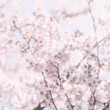 【フリーBGM】春の花が開花していた/序盤はゆっくり終盤は花が開くように少し壮大に