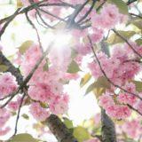 【フリーBGM・壮大】桜の花の色が少しずつ変わり始め/ゆったりと盛り上がるオーケストラ