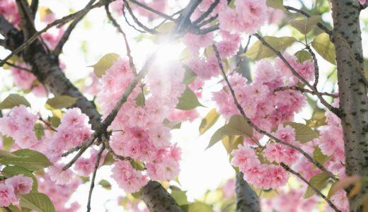 【フリーBGM】桜の花の色が少しずつ変わり始め/ゆったりと盛り上がるオーケストラ